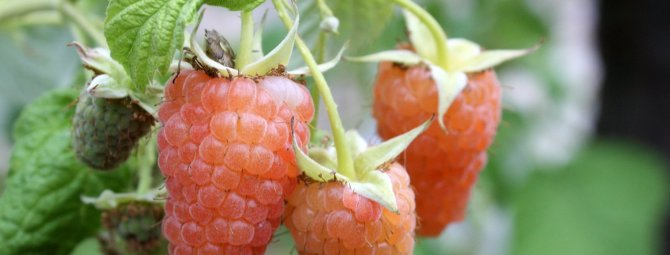Малина ремонтантная оранжевое чудо посадка и уход в открытом грунте