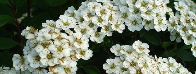 Кустовые цветы белые