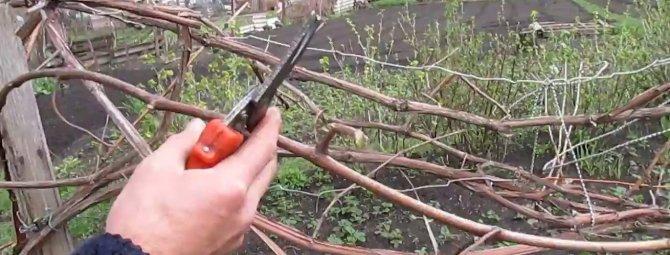 обрезка винограда осенью в средней полосе россии