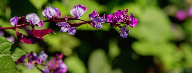 Долихос- выращивание гиацинтовых бобов для украшения участка