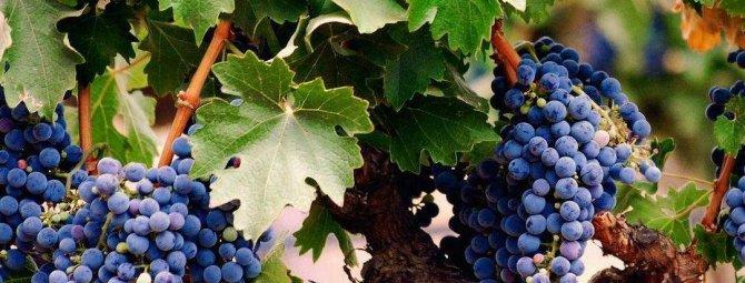 Борьба с вредителями и болезнями винограда
