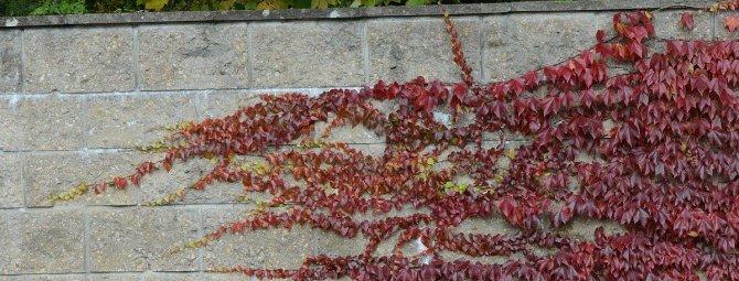 Девичий виноград посадка и уход в открытом грунте размножение