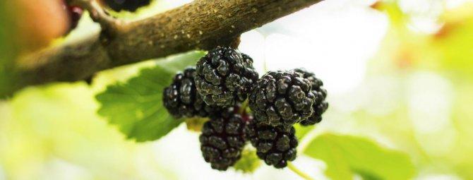 выращивание шелковицы в беларуси