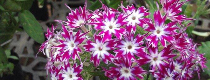 Хитрости ухода за флоксом друммонда: как вырастить из семян роскошный цветок