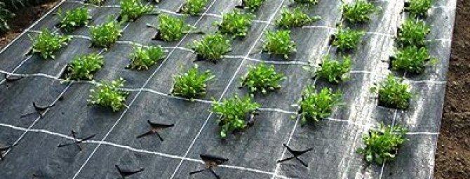 Как укрыть клубнику укрывным материалом от сорняков