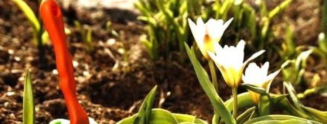 Лучшие луковичные цветы-многолетники: подборка сортов + идеи для композиций
