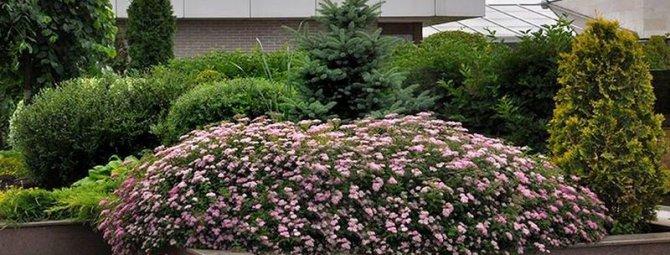 Как максимально эффектно использовать спирею в ландшафтном дизайне своего участка: 40 фото