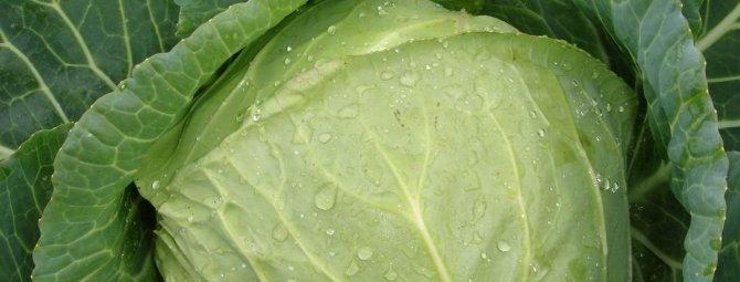Лучшие сорта капусты засолочной: посадка и уход