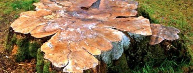 Корчевка пней деревьев на участке: химический, механический и ручной способы