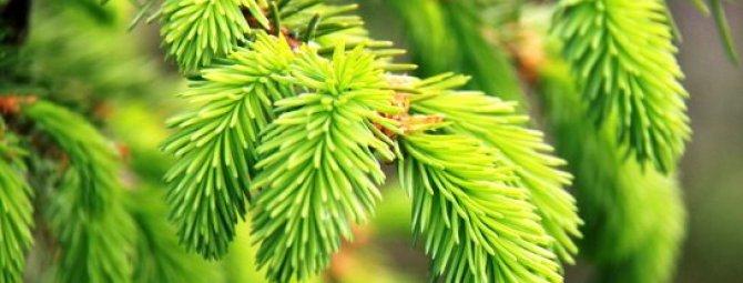 Декоративные хвойники: правила оформления групповых и солитерных посадок в саду