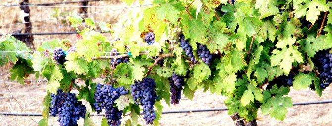как укрывать годовалый виноград на зиму видео
