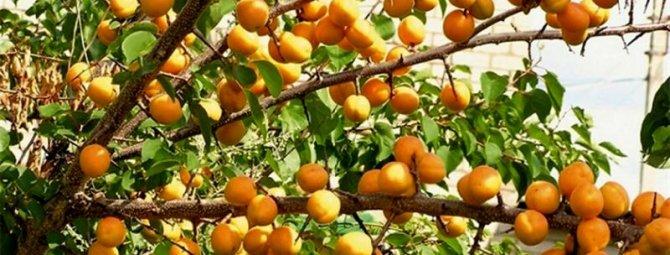 Всё о весенних прививках абрикоса