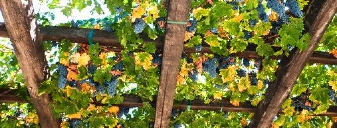 Шпалера для винограда своими руками: как сделать опоры под виноградник