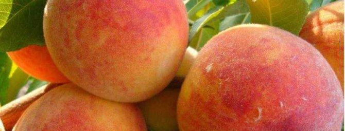 Персик Золотой юбилей – старинный сорт для тёплого климата