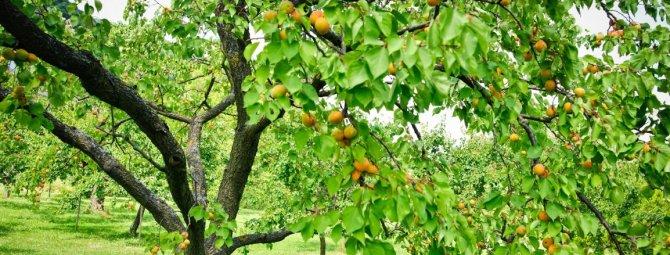 Всё об обрезке абрикоса