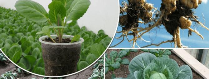 Растим капусту без килы