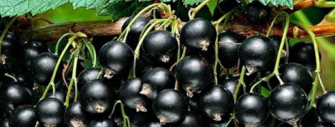 Черная смородина посадка и уход видео как правильно посадить черную смородину осенью