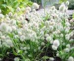 Зайцехвост: декоративный злак для украшения вашего сада