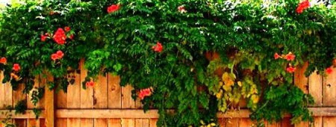 Выбираем лучшие сорта вьющихся растений и цветов для сада + советы по оформлению