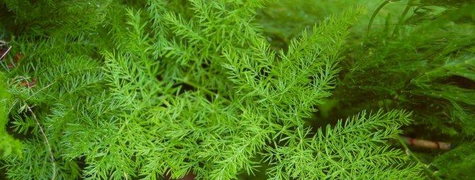 Чудесный подарок природы: выращивание и уход за аспарагусом в домашних условиях