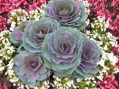 Название цветка похожего на капусту фото