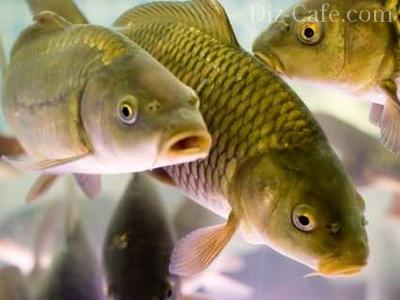 Разведение рыб в искусственных водоемах - особенности и нюансы