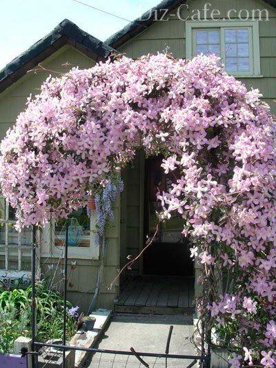 декоративные лианы для сада фото названия