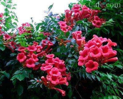 Цветы уличные вьющиеся