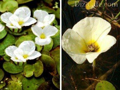 Декоративные разновидности плавающих растений