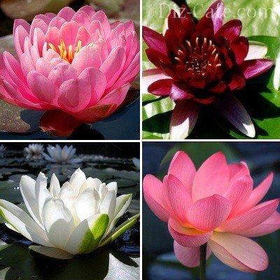 Цветок для украшения центральной части пруда