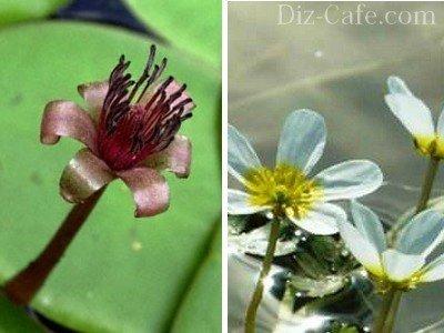 Красивоцветущие глубоководные растения
