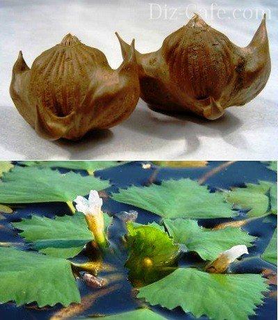 Оригинальная форма водяного ореха