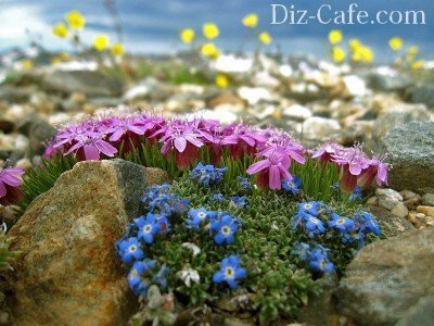Цветы в альпинарии