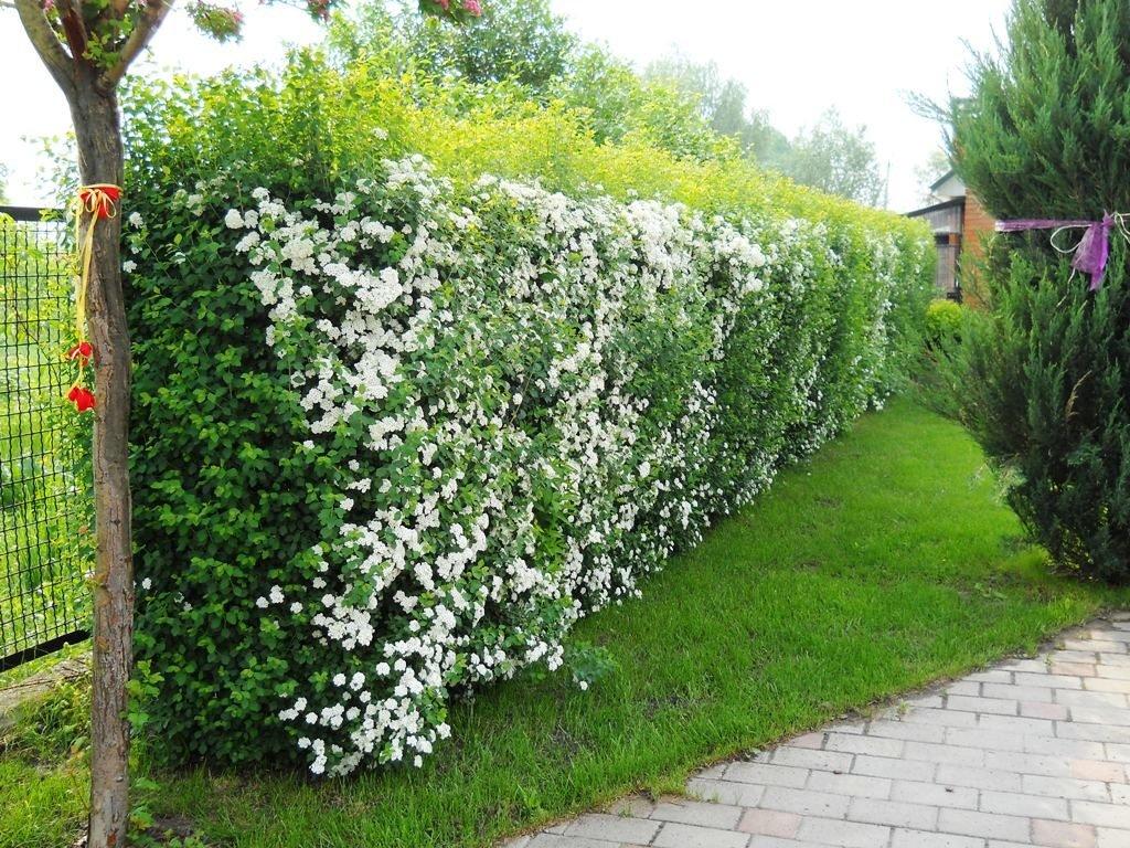 Живая изгородь: посадка и формирование