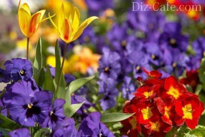 Красочное цветение первоцветов