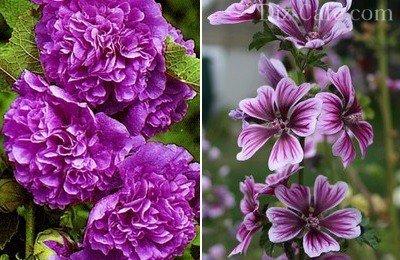 Многолетние цветы для сибири