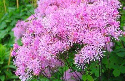 Воздушные шарики цветков многолетника василистника