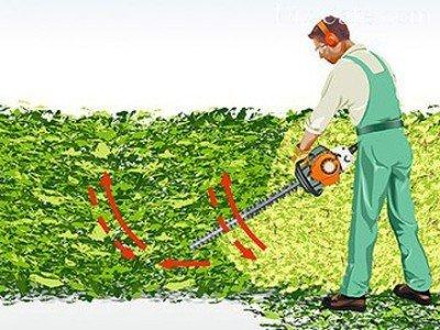 Боковая стрижка зеленой изгороди