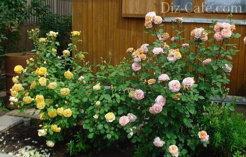 дизайн розария на даче фото