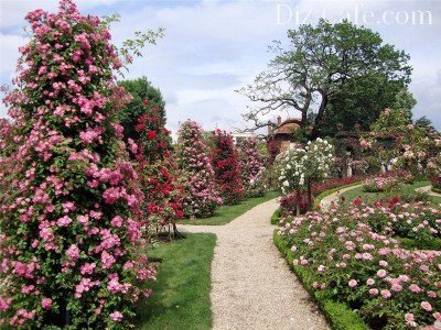 Парковые розы вдоль аллеи