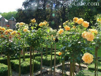 Розарий из штамбовых роз