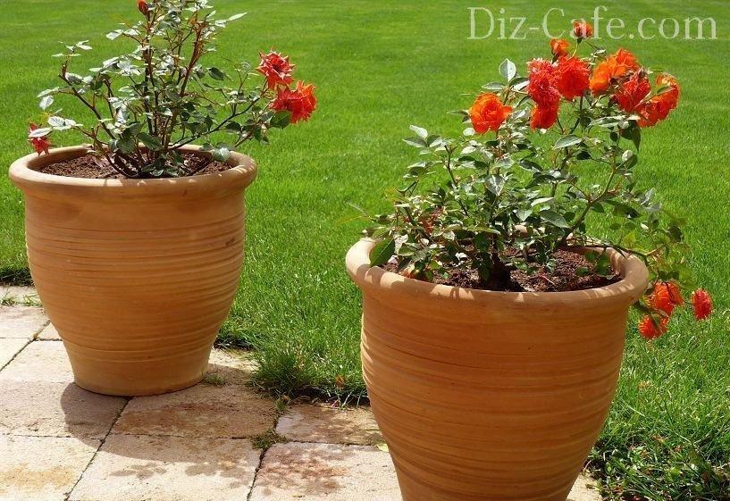 Розы в вазонах на участке