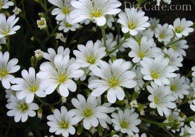 Ковер из миниатюрных цветков ясколки