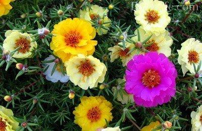 Низкорослые сорта цветов для клумбы: подборка лучших вариантов