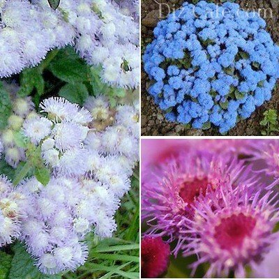 Синие садовые цветы башмачки
