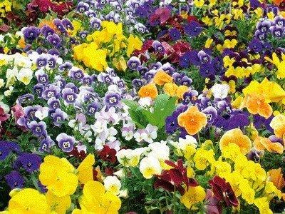 Пестрый ковер из цветков анютиных глазок