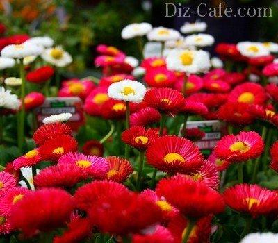 Низкие цветы садовые