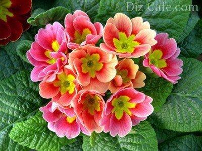 Примулы – весенние красавицы