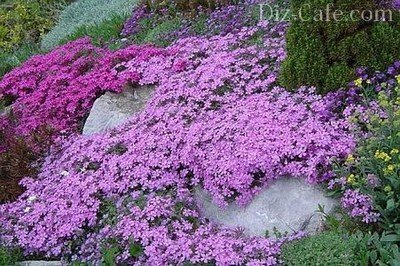 Цветы ковровые многолетники