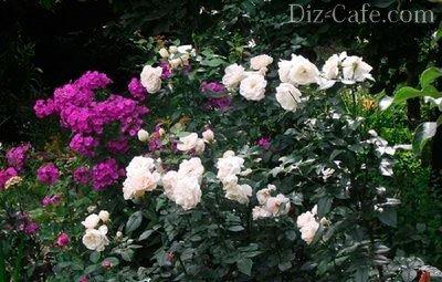 Розу и флоксы